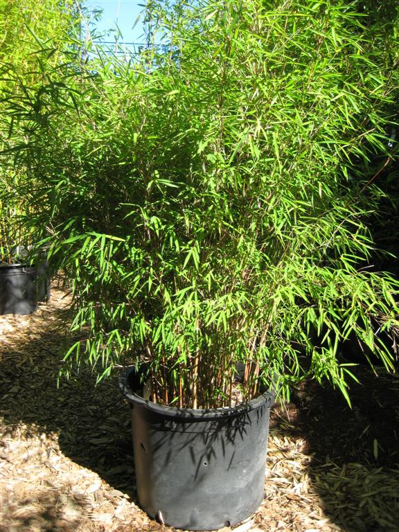 Image Result For Non Invasive Bamboo